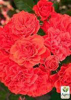 """Роза полиантовая """"Бранд Пикси"""" (саженец класса АА+) высший сорт"""