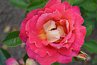 Роза Павлиный Глаз