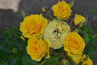 Роза спрей жёлтая