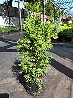 Туя западная (thuja occidentalis) - Columna (Колумна) 15 - 60 см, С-3