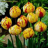 Тюльпан Golden Nizza (Золота Ніцца) 10/11, фото 2