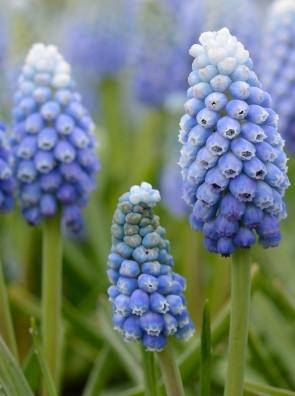 Мускари  Lady Blue