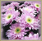 Черенок хризантемы