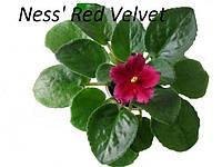 Сенполия  Ness' Red Velvet(D.Ness)  лист