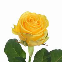 Роза Пенни Лейн, фото 1