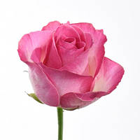 """Роза """"Кэнди"""""""