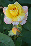Роза парковая розово-жёлтая