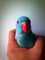 Ожереловый попугай - птенцы
