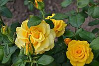 Роза плетистая жёлтая