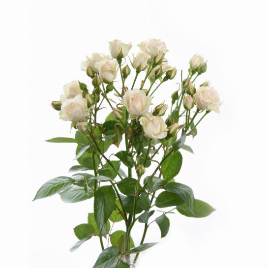 Роза-Спрей Крем