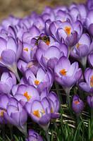 Крокус Barr's Purple, 7+