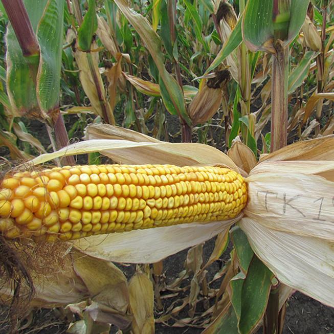 Гибрид кукурузы ТК 195 (2017)