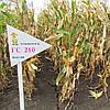 Гибрид кукурузы ГС 210 - ФАО 210 (2016)