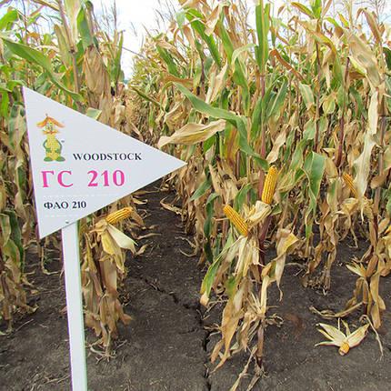 Гибрид кукурузы ГС 210 - ФАО 210 (2016), фото 2
