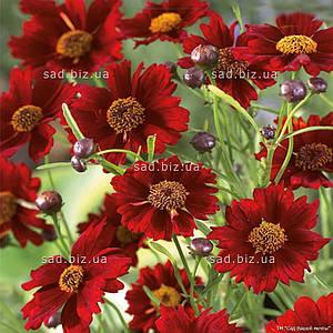 Кореопсис мутовчатый 'Ruby Red' в горшке 9х9х10см