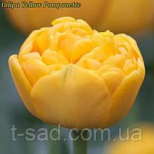 Тюльпан Yellow Pomponette (Єлоу Помпонетт) 12+