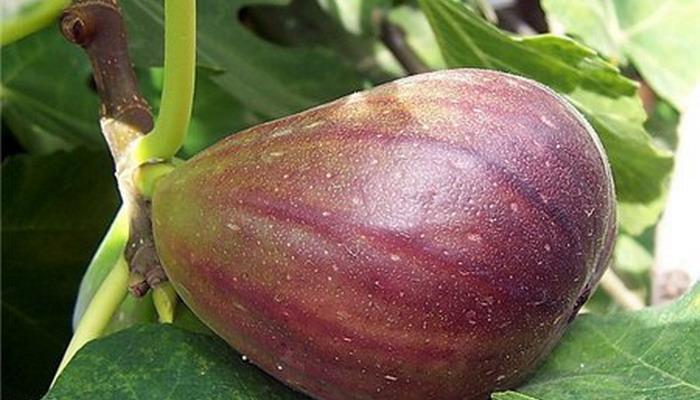 Инжир Серый ранний(закрытая корневая)