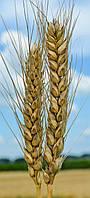 Пшеница озимая Шестопаловка, 280-285 дней, урожайность 70-85 ц/га