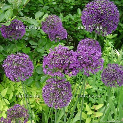 Лук душистый с фиолетовыми цветами, в горшке 9х9х10см