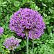Лук душистый с фиолетовыми цветами, в горшке 9х9х10см, фото 2
