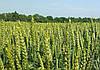 Урожайность озимой пшеницы падает
