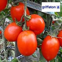 Семена томата Рио Гранде F1 / Rio Grande F1 от Гриффатон (Griffaton), Франция, 0,25 кг