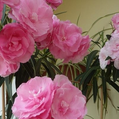 Олеандр розовый махровый № 3