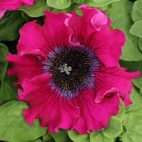 Семена цветов петунии Бордова F1 10шт.
