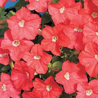 Семена цветов петунии Карлик темно-лососевый F1 15шт.