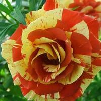 Роза Orang and Lemon(лэмон  энд оранж)