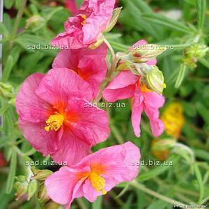 Гелиантемум (солнцецвет) 'Wisley Pink', в 3-литровом контейнере