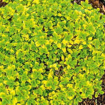 Тимьян лимоннопахнущий  'E.B. Anderson' в горшке 9х9х10 см