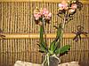 Орхидея Фаленопсис мини колибри 2 ст 9дкр\жол