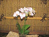 Орхидея Фаленопсис мини колибри 2 ст 9дроз\бел