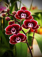 Орхидея бордо 20*25 (полная выкладка)