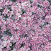 Флокс шиловидный 'Candy Stripes' в горшке 9х9х10см