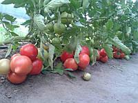 Семена томата Агилис F1 \ Agilis F1 500 семян Enza Zaden