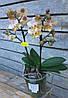 Орхидея Фаленопсис Мульти 2 ст 35см арома