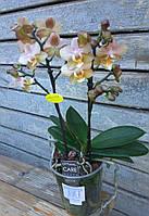 Орхидея Фаленопсис Мульти 2 ст 35см арома, фото 1