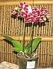 Орхидея Фаленопсис Мульти 2 ст 12д 40см