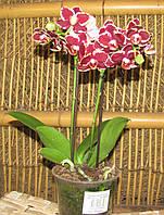 Орхидея Фаленопсис Мульти 2 ст 12д 40см, фото 1