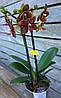 Орхидея Фаленопсис Мульти 2 ст 12д 40см жел.