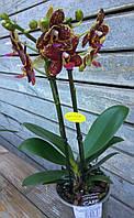 Орхидея Фаленопсис Мульти 2 ст 12д 40см жел., фото 1