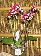 Орхидея Фаленопсис Мульти 2 ст 12д 40см red мозаика, фото 1
