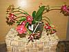Орхидея Фаленопсис Мульти Table Aristo 5-6 ст ампельн кирп