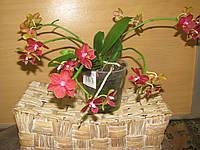 Орхидея Фаленопсис Мульти Table Aristo 5-6 ст ампельн кирп, фото 1