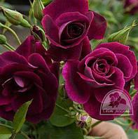 "Роза флорибунда ""Burgundy"" Stam / Pa 100 / C7.5"