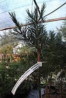 Сосна черная «Брепо» (Pinus nigra «Brepo») Штамб 80 см. контейнер 5 л., фото 1