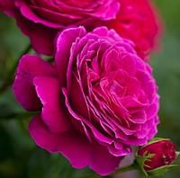 Роза Малиновый пурпур