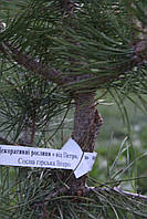 Сосна черная Брепо (Pinus nigra Brepo) Штамб 50 см. Диаметр 25-30 см., фото 1